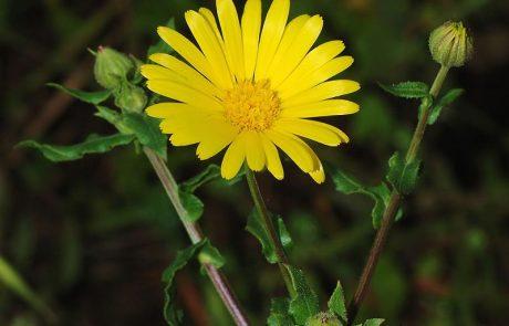 קלנדולה – צמח הריפוי של הטבע
